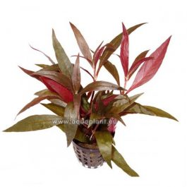Alternanthera rosaeofolia