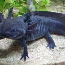 Axolotl Wildkleur