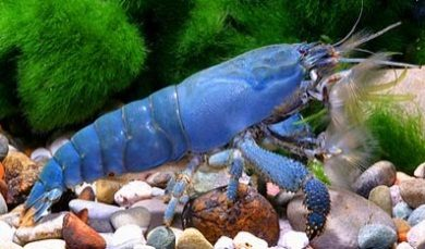 Blauwe Mantis garnaal