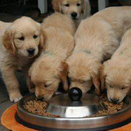 Voeding honden