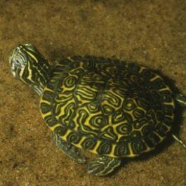 Waterschildpadjes