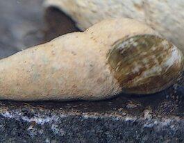 Chocolade Rabbit Snail
