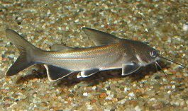 Colombiaanse zoetwaterhaai