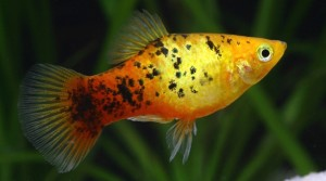 Platy    Geel Calico