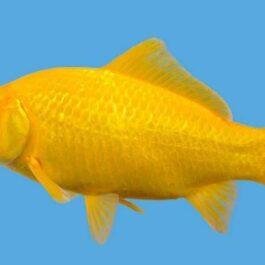 Shubunkin & Gele goudvis  15/18 cm