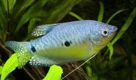 Gourami Blauw    L