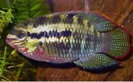 Laetacara dorsigerius