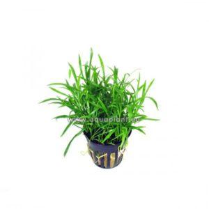 Lilaeopsis (novea zealandiae)