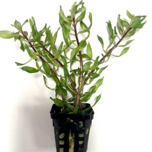 Ludwigia inclinata curly