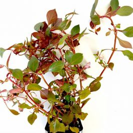 Ludwigia specie super red