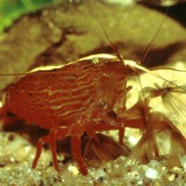 Mantis garnaal