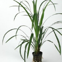 Ophiopogon gigantea