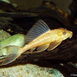 Plectostomus   Goud