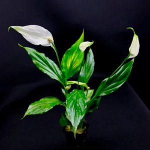 Spathiphyllum wallissi