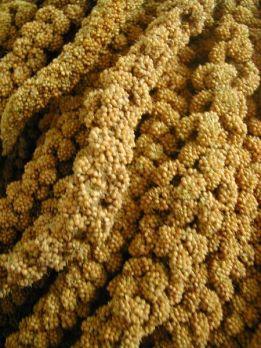 trosgierst geel 250 gr
