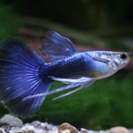 Guppy Man    Tuxedo Blauw