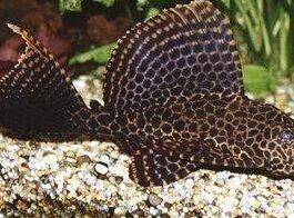 Zeilvin Plectostomus
