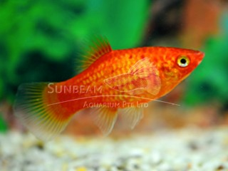Platy  Neon red moon