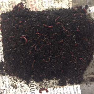 Rode muggenlarven in aarde