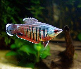 Royal Chocolode Gourami