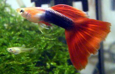 Guppy Man   Blond half zwart rood