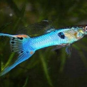 Guppy Endler man Japan Blue