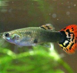 Guppy Vrouw    Snakeskin red