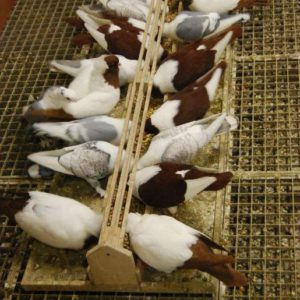 Eet- & drinkbak duif