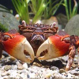 Rode Krab