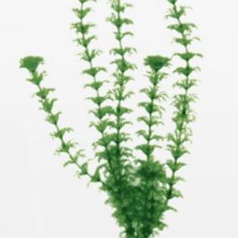 Wave plant Cabomba