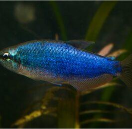Blauwe keizertetra